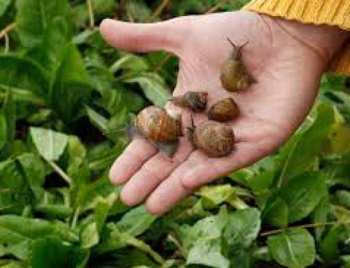 Come avviare un allevamento di lumache